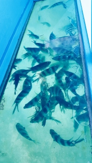 Fish swimming beneath the boat